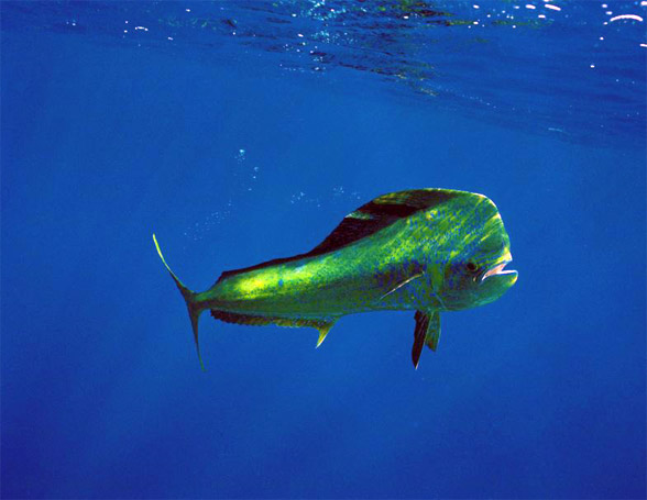 Mahi mahi the dorado hawaii deep sea fishing for Dolphin deep sea fishing